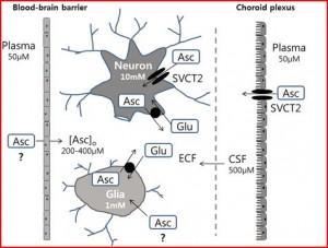 Vitamine C (Asc) in het centraal zenuwstelsel. De opname is gedeeltelijk afhankelijk van de natrium afhankelijke vitamine C transporter type 2 (SVCT2). Onderzoek naar (voedings-) factoren die het  SVCT2 gehalte bepalen lijkt erg nuttig