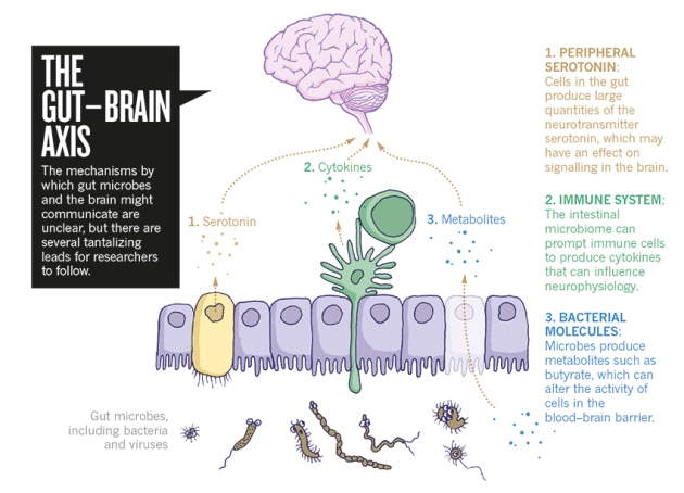1) Cellen in de darmen produceren serotonine die effect kunnen hebben op de werking van de hersenen. 2) Het microbioom kan immuuncellen aanzetten tot het produceren van cytokines die het zenuwstelsel beïnvloeden. 3) Microbes produceren metabolieten zoals butyraat (boterzuur) die de activiteit van cellen in de bloed-hersenbarriére beïnvloeden.