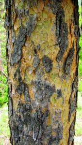 De bast van de boswelliaboom